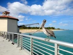My friend the pelican